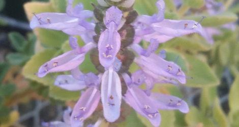 Plectranthus neochilus blooming this week