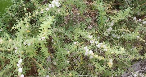 Pollichia campestris blooming this week