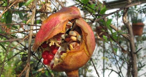 Punica granatum Nana blooming this week