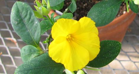 Reinwardtia indica blooming this week