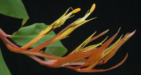 Rhynchanthus longiflorus