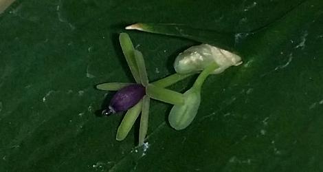 Ruscus hypoglossum blooming this week