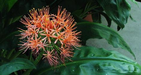 Scadoxus multiflorus ssp. Katherinae