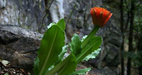 Scadoxus puniceus blooming this week