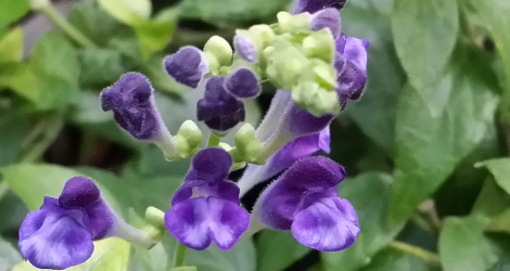 Scutellaria javanica blooming this week
