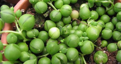 Senecio rowleyanus blooming this week