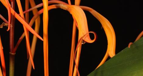 Siamanthus siliquosus