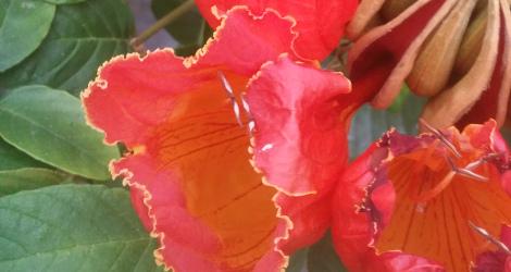 Spathodea campanulata blooming this week