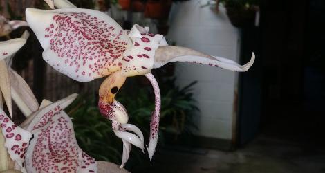 Stanhopea oculata blooming this week