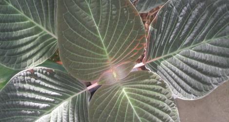 Streblacanthus amoenus blooming this week