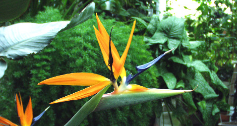 Strelitzia reginae blooming this week