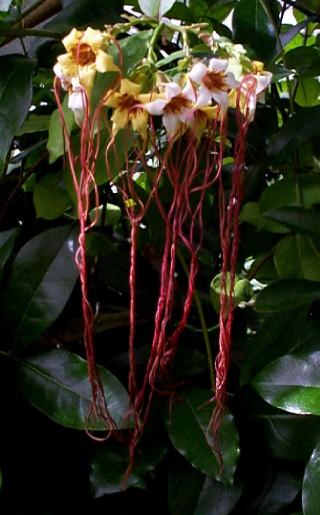 Strophanthus preussii цветы и цветки