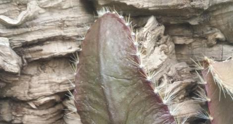 Strophocactus wittii