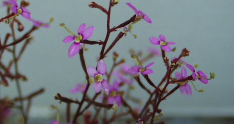 Stylidium debile blooming this week