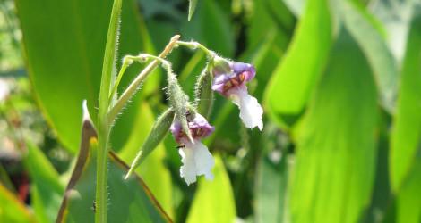 Thalia geniculata blooming this week