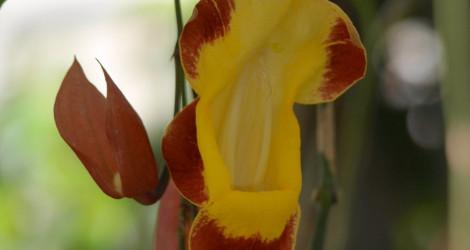 Thunbergia mysorensis blooming this week