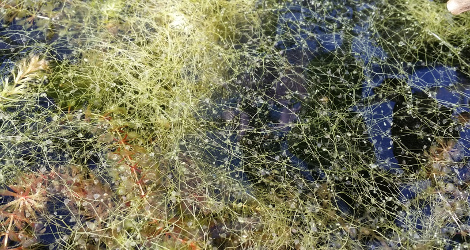 Utricularia vulgaris subsp. macrorhiza