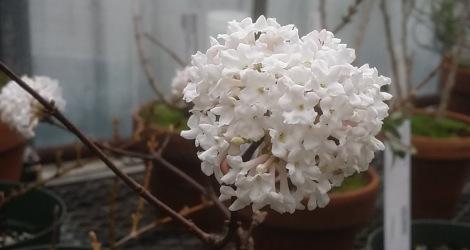 Viburnum farreri blooming this week