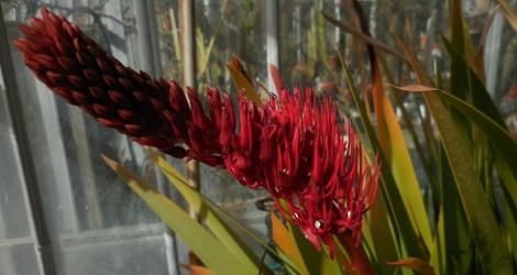 Xeronema moorei blooming this week