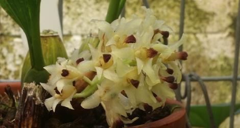 Xylobium variegatum blooming this week