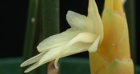 Zingiber sulphureum