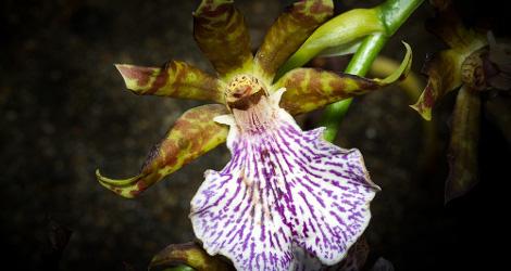 Zygopetalum maculatum blooming this week