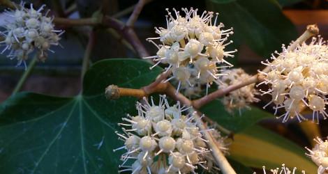 x Fatshedera lizei blooming this week