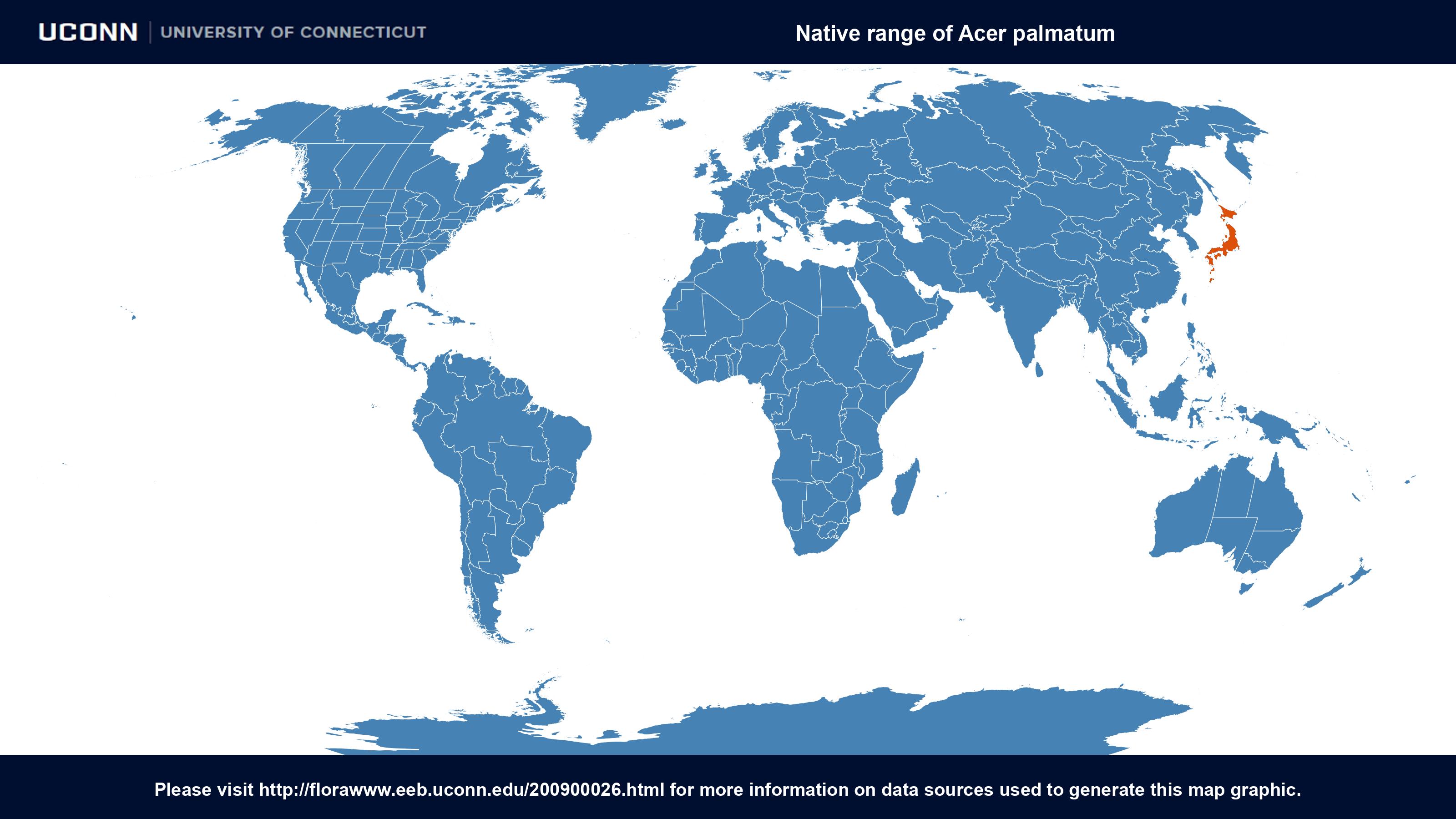 Acer palmatum {Sapindaceae} Japanese Maple